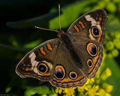 Common Buckeye [Junonia coenia] (Fred Roe) Tags: lca71d8208 nikond7100 nikkorafs80400mmf4556ged nikonafsteleconvertertc14eii nature wildlife insect butterfly commonbuckeye junoniacoenia capemay newjersey