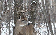 White-tailed Buck  1193 (robenglish64) Tags: whitetailed buck