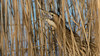 060.3 Roerdomp-20170119-J1701-42506 (dirkvanmourik) Tags: boetjevanonzekees castricum duinreservaat greatbittern roerdomp vogelsvannederland bird botaurusstellaris