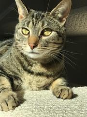Closeup of my tabby cat's face. (AndyS03) Tags: cat cats pet pets animal iphone iphone7 iphone7plus cute aww face catseyes tabbycat
