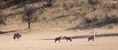 Spotted hyenas and Gemsbok (dieLeuchtturms) Tags: 21x9 235x100 7x3 africa afrika antilopen antilopinae artiodactyla auob bovidae crocutacrocuta dornbuschsavanne dornstrauchsavanne fleckenhyäne gemsbok hippotragini hornträger ktp kalahari kgalagadi kgalagaditransfrontierpark oryx oryxantilope paarhufer pecora pferdeböcke ruminantia southafrica spiesbock spottedhyena stirnwaffenträger säugetiere südafrika tüpfelhyäne vertebrata vertebrates wiederkäuer wirbeltiere mammals