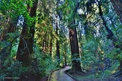 MUIR WOODS (Rex Montalban Photography) Tags: muirwoods sanfrancisco california rexmontalbanphotography