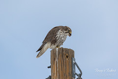 Prairie Falcon dines on small bird
