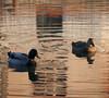 Happy together (Sappho et amicae) Tags: ducks river light reflection sapphoetamicae željkagavrilović canon450d