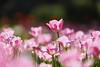 春光明媚 (Diego Chiu) Tags: 桃源仙谷 鬱金香 fe70200mmf28gm bokeh flower tulips sel70200gm sony tulip pink