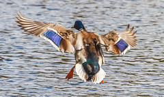 Flaps down (Steve-h) Tags: bushypark birds duck hybrid mallard drake feathers wings colours colour pretty bronze brown green blue orange action movement landing water pond park lake dublin ireland europe canon camera lens ef eos steveh nature natur natura naturaleza