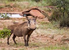 Wary (Sheldrickfalls) Tags: warthog vlakvark kuduprivatenaturereserve kuduranch kudugameranch site66 66 lydenburg mpumalanga southafrica