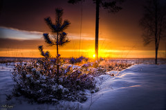 The lonely tree (ErikN86) Tags: tree fir sunset yellow orange snow sony sonydslr sonya77ii sweden sverige gvorrskär hdr