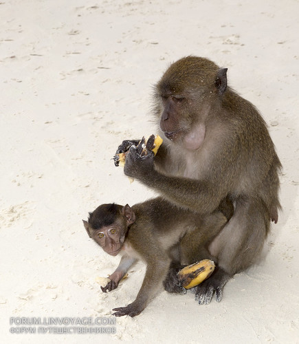 Monkey feeding at Monkey beach, Phi Phi island, Thailand, 31 december 2016