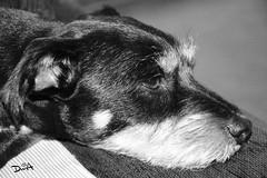 Nero (davidmendez82) Tags: perro animal pensando animales negro monocromo blanco y bw