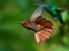 Rocket Powered Ruby Topaz (S.J. Trinidad & Tobago Nature) Tags: hummingbird trinidad landofthehummingbird wildlife bird tobago nature stephen stephenjay photography natural light action bif ngc