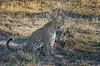 Leopard (brainstorm1984) Tags: big5 savutimarsh safari savuti savutesafarilodge savutigamereserve chobenationalpark desertdeltasafaris botswana wildlife pantheraparduspardus savute wildfelinephotography savutichannel leopard pantherapardus savutegamereserve bigfive northwestdistrict botsuana bw