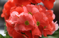 21-IMG_9340 (hemingwayfoto) Tags: balkon becherprimel blühen blüte blume flickr flora garten gartenblume gewächs natur pflanze pink primel