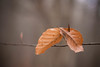 Pierced (MT_Photography) Tags: beech beechtree beechleaves leaf leaves orange parcoprovincialepiacenza parcoprovincialemontemoria montemoria
