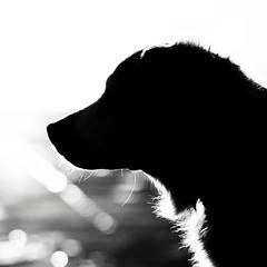 Dog (HerrWick) Tags: einsonce kw02367 hunzi dsc3608 hund dog fur snout d700 nikon