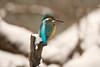 Paré pour l'hiver (mehdiapic) Tags: martin pêcheur common kingfisher nature wildlife neige snow hiver winter
