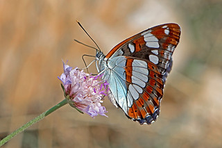Limenitis reducta - the Southern White Admiral