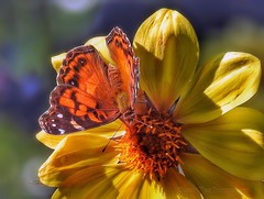 Summer Memories (AngelVibePhotography) Tags: nikon dahlias blossom colorful blossoms closeup nature photography butterflies garden outdoor butterfly dahlia northcarolina brightcolors nikonp900 yellow insect macro flowers insects flower depthoffield