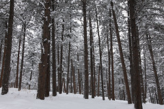 Wintry forest (Jeff Mitton) Tags: snow winter ponderosapine bouldercountyopenspaceandmountainparks colorado mountains forest earthnaturelife wondersofnature