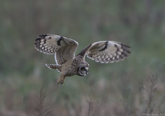 Short-eared Owl (Chuck Hantis) Tags: