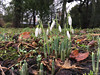Early Snowdrops at Croxteth Park (Explore) (Tony Beyga) Tags: snowdrops spring croxtethpark