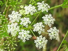 lacy flowers (jeaniephelan) Tags: whiteflowers flower weed