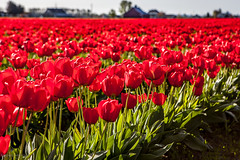 Dreaming of Spring (Culinary Fool) Tags: mtvernon tulip brendajpederson skagitvalley flower april 2470mm28 2016 culinaryfool dof red