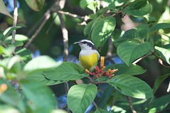 Bananaquit (btrentler) Tags: watching honeycreeper bananaquit bird birding wildlife animalia chordata aves passeriformes passeri thraupidae coereba flaveola bahamensis
