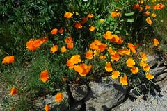 Fleurs de rocailles,  Poppies (claude 22) Tags: fleurs flowers blumen fiori nature natural beauty beauté rocailles coquelicots poppies