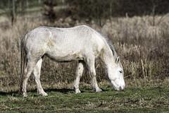 Cheval_Rancon_7fev2017_01 (xav.vergon) Tags: animaux cheval hiver larançon pointaf saintwandrillerançon sortieornitho xaviervergon