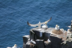 """I'm coming dear"" (Pierre♪ à ♪VanCouver) Tags: canada newfoundland atlantic ave alcatraz oiseau vogel seabird atlantique northerngannet morusbassanus capestmarysecologicalreserve"
