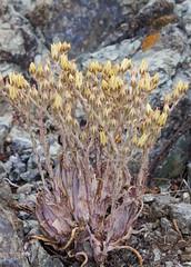 Dudleya abramsii ssp. murina, San Luis Obispo Dudleya (marlin harms) Tags: dudleya rareplants sanluisobispodudleya dudleyaabramsiisspmurina