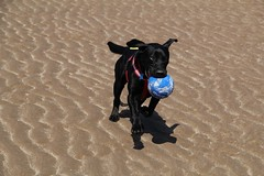 conor (rachaelwatsonphotography) Tags: sea sun black beach water forest canon scotland sand lab labrador cross forestry horizon staffy commision tentsmuir
