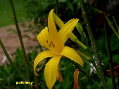 Yellow Day Lily (pat.bluey) Tags: flowers yellow australia daylily raindrops newsouthwales 1001nights mygarden montijoverdeamarelo waterdropsmacros 1001nightsmagiccity