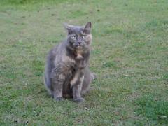 Matilda's cute face. (Matilda&Charlie&Josie ~ MCJ) Tags: cat matilda 9yo greybluecreamtortoiseshell