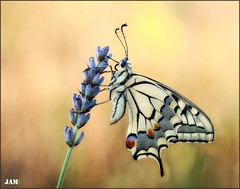Desolacion (- JAM -) Tags: naturaleza flower macro nature insect nikon flor explore jam mariposas d800 insecto macrofotografia explored specanimal lepidopteros juanadradas