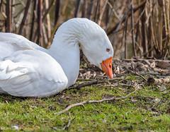 Weier Vogel - Gnse 2 (thorvonasgard) Tags: natur gans vgel fluss weiss wasservogel ruhe federn schmelz prims gefidert