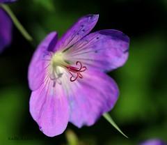 5-21-15 094 ...Wild Geranium Macro... (KatieKal) Tags: 52115