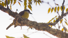 bentivi (Daniel Dalonso) Tags: brasil bemtevi aves santacatarina joinville passaros zoobotanico bentivi danieldalonso danieldalonsofotografia