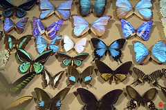 Old School Butterfly Collection (Mark Kaletka) Tags: museum wisconsin butterfly display exhibit milwaukee milwaukeepublicmuseum