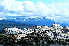 Lobos (Arctocephalus australis) y cormoranes (Phalacrocorax atriceps), Ushuaia. (eustoquio.molina) Tags: argentina ushuaia lobos australis marino cormoranes marinos phalacrocorax atriceps arctocephalus