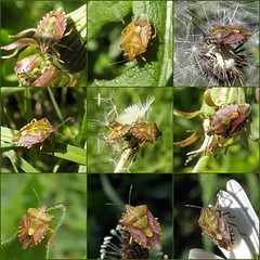 Carpocoris medley! (rockwolf) Tags: france bug insect jura punaise 2015 hemiptera heteroptera pentatomidae rockwolf carpocorispurpureipennis