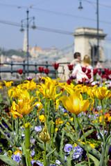 Budapest, Ponte delle Catene (giandre11) Tags: street flowers 35mm hungary bokeh budapest best yallow