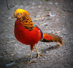 The Golden Pheasant --- le faisan doré 3 (Cloudwhisperer67) Tags: the golden pheasant le faisan doré artistique funny color couleur colored coloured colors rainbow arcenciel blue green yellow jaune rouge red vert bleu france great nice weather sun strasbourg parc nature natural flickr award orangerie cloudwhisperer67 cloudwhisperer cloud whisperer 67 raphael raphaël colorphotoaward animal animals flickraward5 fun adorable amazing be lovely love photography art europe europa colorful canon 760 760d