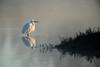 Premiers rayons du matin (Jacques GUILLE) Tags: 09 aigrettegarzette ardéidés ariège domainedesoiseaux egrettagarzetta littleegret mazères pélécaniformes bird oiseau