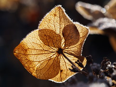 brown (michaelmueller410) Tags: blume flower faded gone winter autumn fall light leave veins sunlight hydrangea eis blossom december dezember verblüht dolde raureif hoarfrost braun