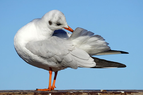 Black-headed gull. Озерная чайка.