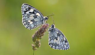 Marbled White (Melanargia galathea).