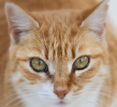 Ginger cat (elena.barsottelli) Tags: cat gatto gattorosso ginger gingercat malta greeneyes eyes cateyes tiger furry