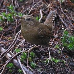 _Q8A7892BurnabyLakePacificWrenSmall (birdbug3) Tags: troglodytes pacificus